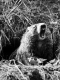 Woodchuck Standing on Hind Legs in Midst of Dense Foliage with Mouth Open and Showing Teeth