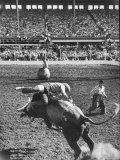 Cowboy Riding a Brahman Bull  at Iowa State Fair