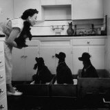 Marian Elliott  Dog Sitting Four French Poodles