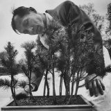 Japanese Horticulturist Kan Yashiroda Tending to a Bonsai Tree Papier Photo par Gordon Parks