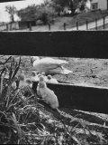 Ducklings Living on a Farm