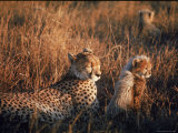 Mother Cheetah and Her Cub in Game Preserve in Africa
