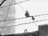 Sparrow Landing on Barbed Wire Atop the Berlin Wall