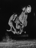 Muzzled Greyhound Captured at Full Speed by High Speed Camera in Race at Wonderland Track