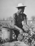 Young African American Sharecropper Woman Picking Peas in a Field on Farm