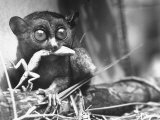 Tarsiers an Animal Native to Indonesia and Philippines Eating a Lizard Alive