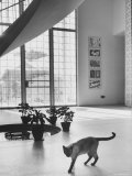 Siamese Cat in Reception Hall of Residence of Us Ambassador to India