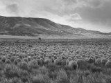 Sheep Grazing at El Condor Sheep Ranch