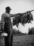 Tobacco Farmer Holding Dried Tobacco Leaves