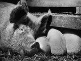 Not Pure Breds, Mixed Yorkshire Pigs, on Iowa Farm Papier Photo par Gordon Parks