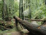 Fallen Redwood Tree and Stream
