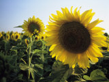 A Close View of a Field of Sunflowers in Tuscany  Italy