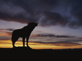 Howling Wolf Silhouetted against Sunset Sky