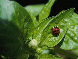 Close View of a Ladybug on a Leaf