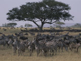 Zebras and Wildebeests in the Serengeti National Park