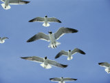 Laughing Gulls Hover against a Blue Sky
