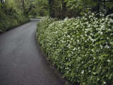 Hedges Along a Road in South Cornwall