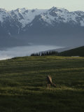 A Deer Grazes in an Alpine Meadow in Olympic National Park