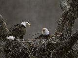 A Pair of American Bald Eagles in Their Nest