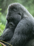 Profile of a Silverback Moutain Gorilla in the Rain