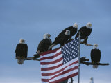 A Group of Northern American Bald Eagles Sit on a Trees Sparse Perches