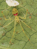 Closeup of a Happy Face Spider (Theridion Grallator) Guarding Her Eggs