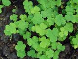 A Cluster of Bright Green Shamrocks
