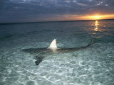 Blacktip Shark Fins  Carcharhinus Limbatus  Slice the Waters Surface