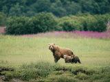 An Alaskan Brown Bear Keeps an Eye on Her Cubs