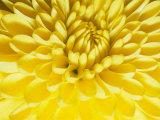 Close-up of a Yellow Chrysanthemum