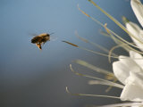 Seen Frozen in Flight  a Bee Carries Pollen Towards a Big White Flower