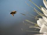Seen Frozen in Flight  a Bee Carries Pollen Towards a Big White Flower