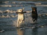 A Chocolate Labrador Retriever Chases after a Stick-Carrying Yellow Labrador Retriver