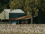 A Cotton Field Surrounds a Small Farm