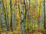 An Autumn View of a Birch Forest in Michigans Upper Peninsula