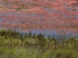 Floating Cranberries Turn a Bog Pinkish Red