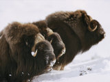 Close View of Three Musk-Oxen Standing in the Snow