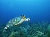 An Endangered Hawksbill Turtle Swims Along the Sea Floor
