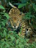 A Jaguar Crouches in the Forest