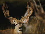 A Buck with His Antlers in Velvet