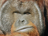 A Portrait of a Captive Male Orangutan