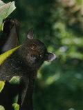 A Captive Juvenile Black Flying Fox Looks Straight at the Camera