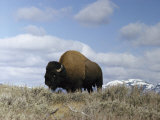A Magnificent American Bison Bull under a Soft Blue Sky