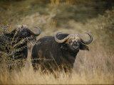 Two Cape Buffalo on the Veldt