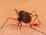 A Biting Female Mosquito with Her Abdomen Filled with a Blood Meal