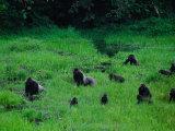 Western Lowland Gorillas Foraging in the Bai