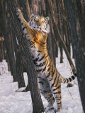 A Captive Siberian Tiger Pauses to Stare at the Photographer