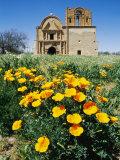 California Poppies Grow near Tumacacori Mission