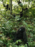 A Group of Gorillas in One of Gabons New National Parks