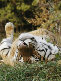 An Adult Siberian Tiger Lounges on His Back